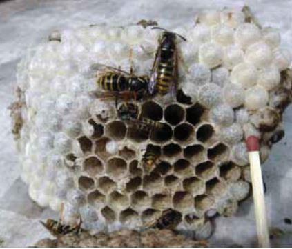 Min ven hvepsen