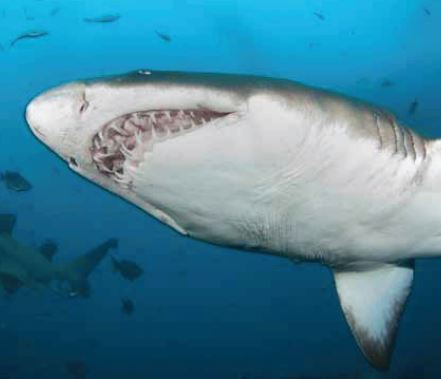 Hajer er og bliver hajer