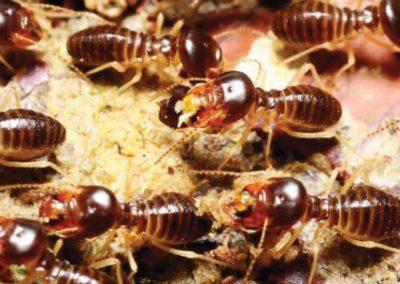 Trekk fra termittens liv
