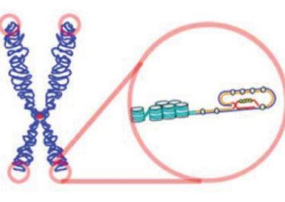 Telomerer i fokus
