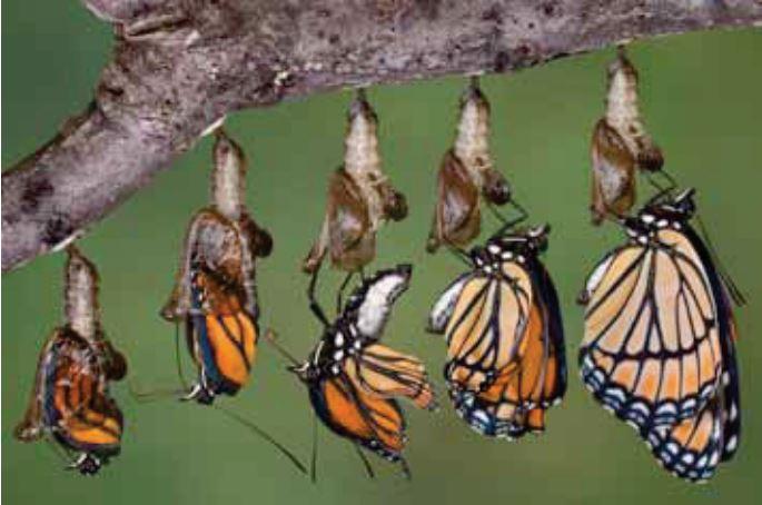 En sommerfugls livsforløb