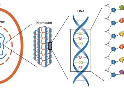 Det biologiske alfabet & proteinsyntesen