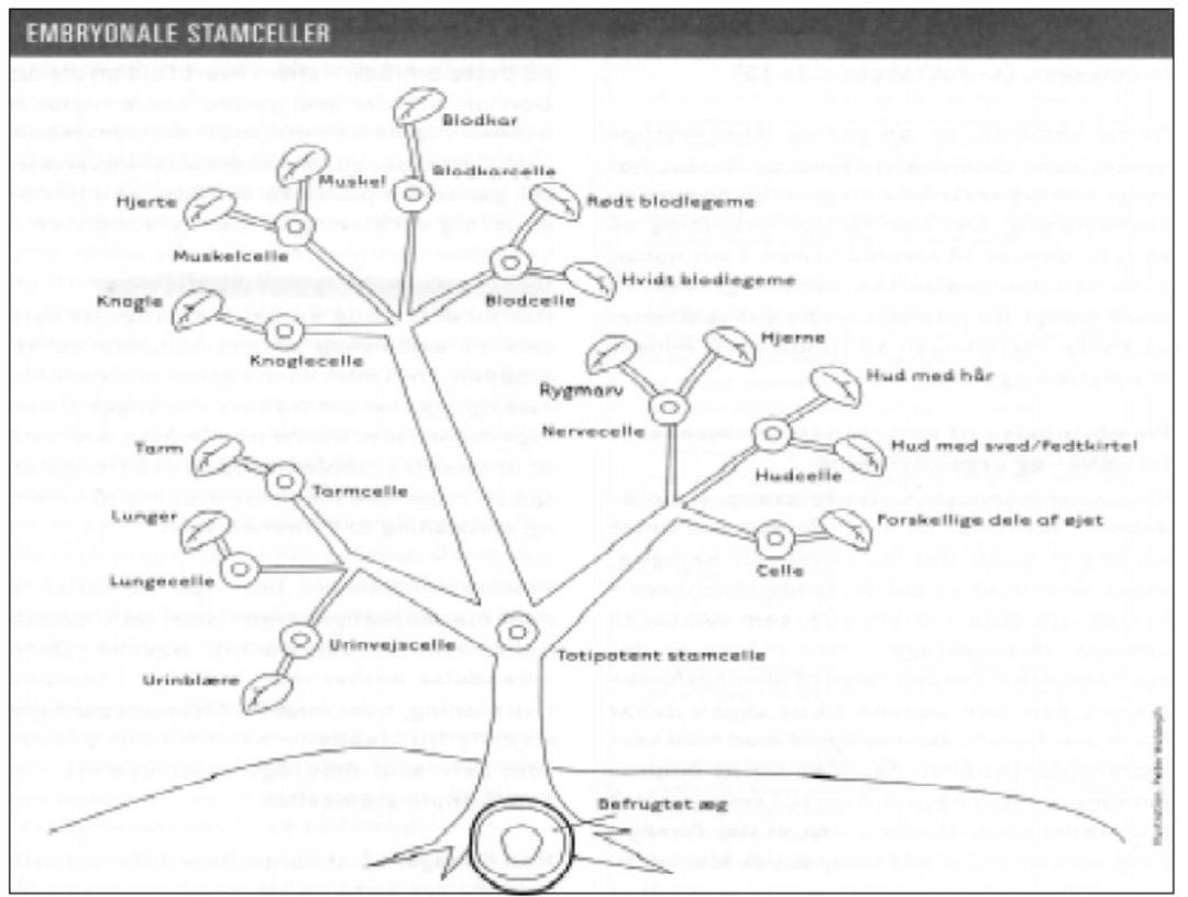 Forskning i stamceller fra fosteranlæg