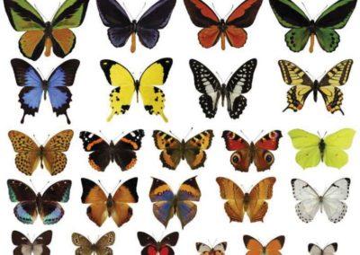 Hurtig evolution redder sommerfugl