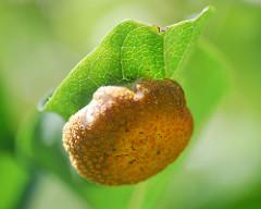 Plantegallen – et af naturens vidundere